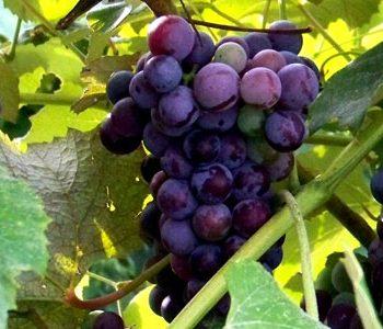 انگور و توت، مفید برای حفظ سلامتی ریههای شما